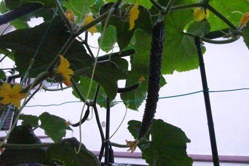 ベランダ菜園の夏野菜キュウリ、ミニトマトの収穫 i
