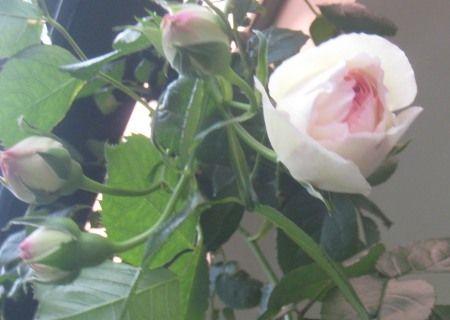 薔薇の木に花が咲き始めました