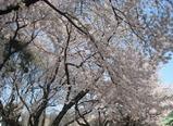 宮前公園の桜