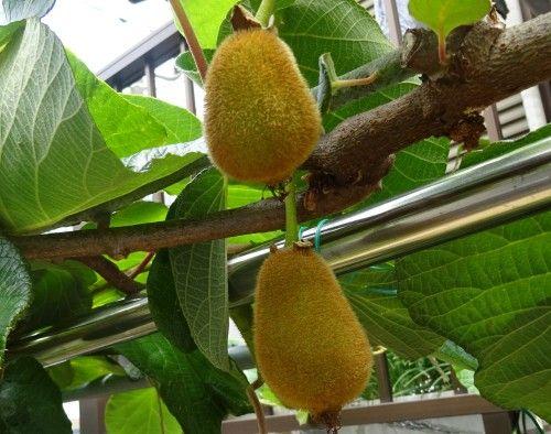 キウイフルーツの実が大きくなってきました。