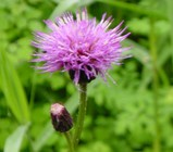 尾瀬ヶ原の花