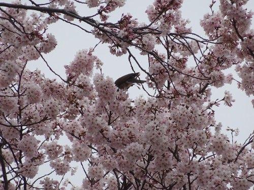 宮前公園の桜に集まる小鳥たち