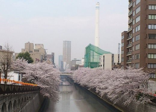 目黒川の桜が満開 目黒新橋から撮影