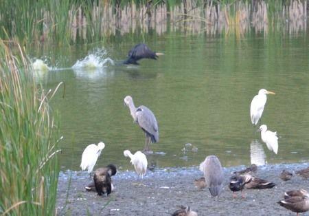 大井の東京港野鳥公園の鳥