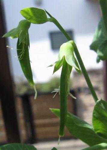ベランダ菜園のサヤエンドウ