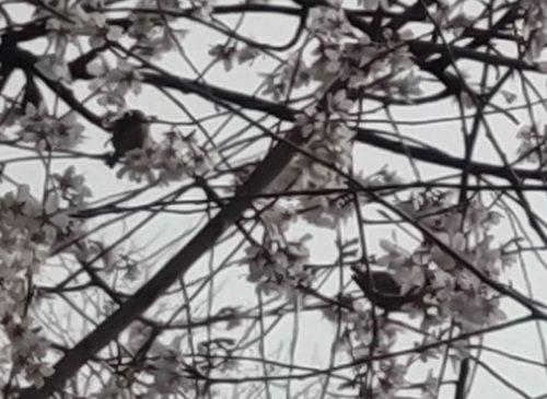 駒場のテニスコートの桜が綺麗でした