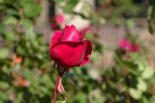 ソニーのサイバーショット DSC-WX350 日比谷公園でバラを撮影