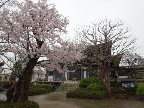 国宝円融寺の桜が満開