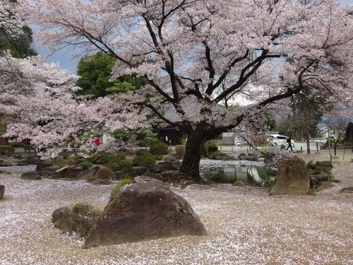 散り始めた恵林寺の桜