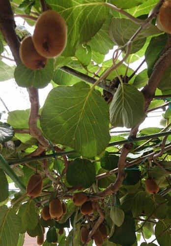 今年はキウイフルーツの実がたくさん収穫できそうです。
