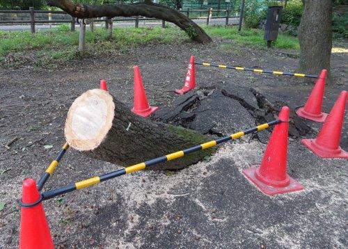 台風24号の強風で多数の樹木が根元から倒木の写真。善福寺公園