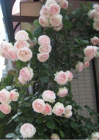 薔薇が満開に