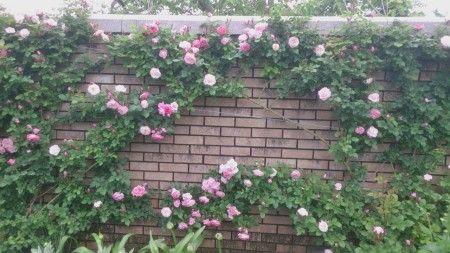 アメリカ山公園のバラが綺麗に咲いていました