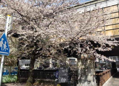 元町のシドモア桜が綺麗でした