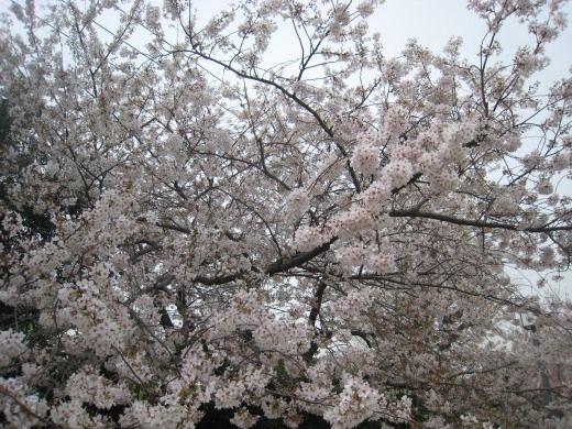 碑文谷公園の桜が満開でした