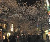 八重洲口の桜