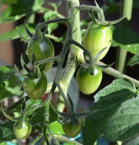 ベランダ菜園のミニトマトの実が大きくなってきました。