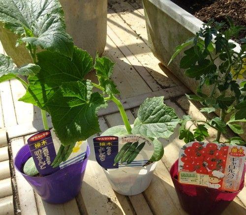 ベランダ菜園に夏野菜(キュウリとミニトマト)の苗の植え付け