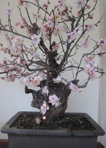 梅の盆栽「思いのまま」が満開に