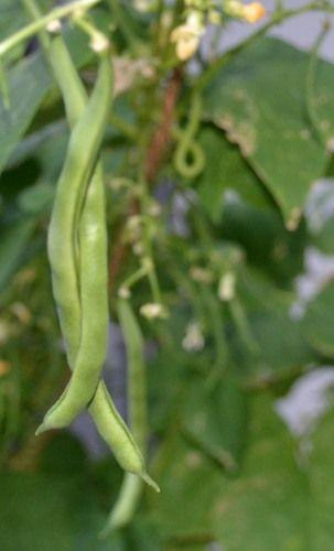 ベランダ菜園のサヤインゲンの収穫