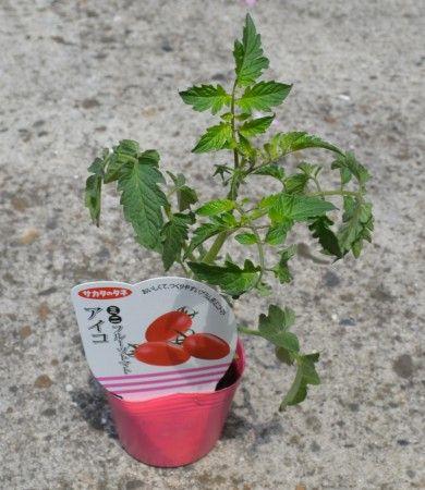 夏野菜のミニトマト、ピーマン、キュウリの苗を購入