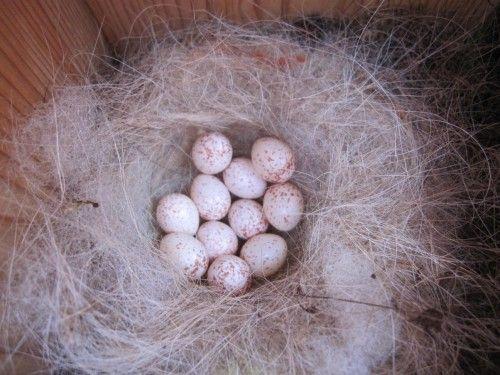 シジュウカラの巣箱 11個の卵を確認