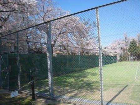 碑文谷体育館のテニスコートの満開の桜