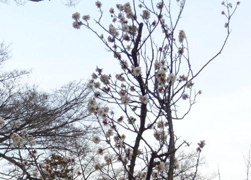 井の頭公園の梅が咲いていました