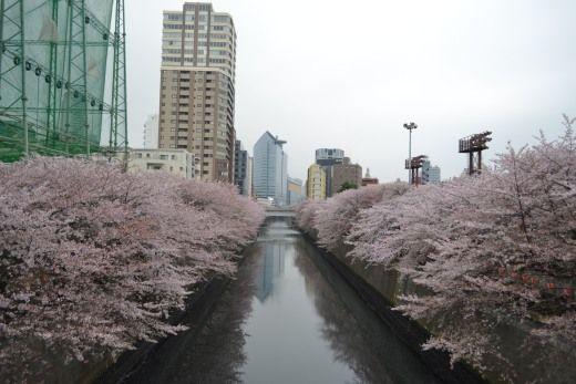 目黒川の桜、