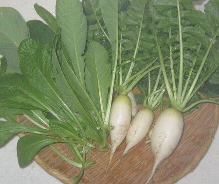 ベランダ菜園の大根と小松菜を収穫