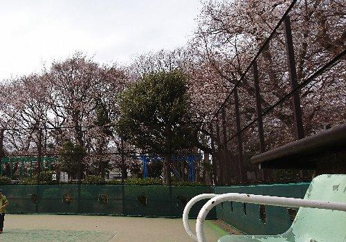 宮前公園テニスコート横の桜がきれいでした