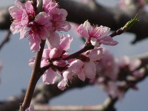 山梨 満開の桃の花 桃源郷