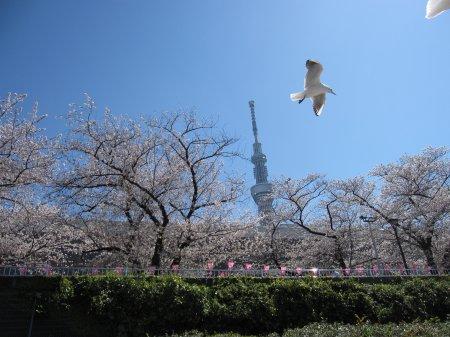 隅田川の桜祭り