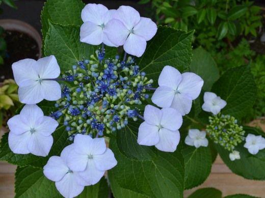 アジサイの花が綺麗に咲きました