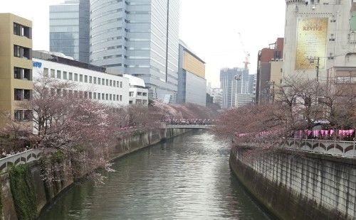 目黒川の桜 大鳥神社近くの目黒新橋から