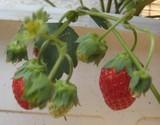 ベランダ菜園のイチゴ
