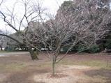新宿御苑 十月桜