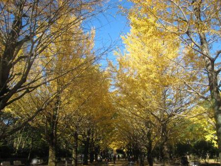 光が丘公園のイチョウ並木