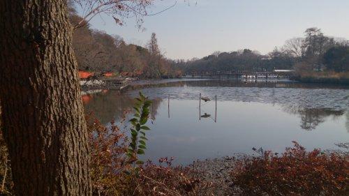 井の頭公園 池が水抜き中 かいぼり