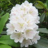 尾瀬ケ原の花
