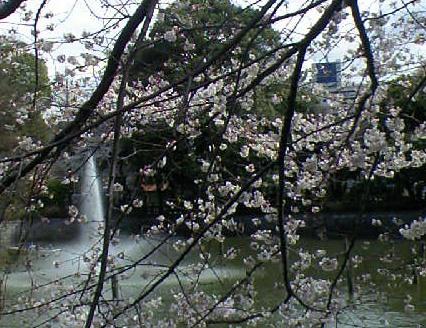 碑文谷公園の桜が満開