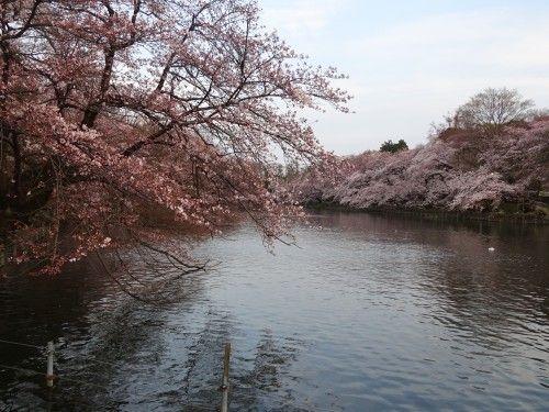 井の頭公園の桜が見ごろでした