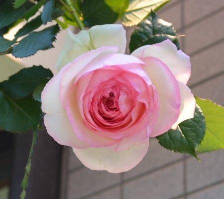 薔薇(ピエール・ドゥ・ロンサール)の花が咲き始めました