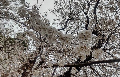 宮前公園の桜がきれいに咲いていました
