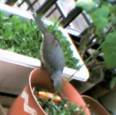 ベランダに来る鳥の動画 ヒヨドリ