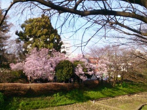 駒場の公園の桜が見頃でした