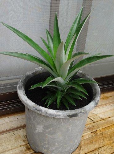 食べたパイナップルのヘタを水耕栽培し、根が出てきたので鉢植えにしました