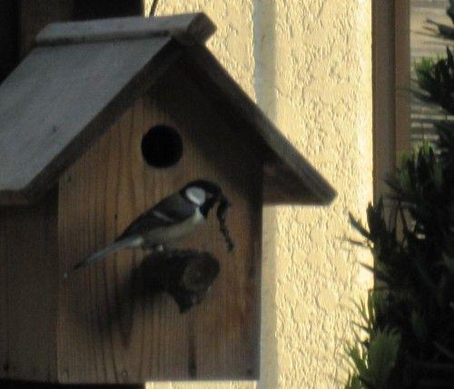 シジュウカラの巣箱 雛に虫を運ぶ親鳥