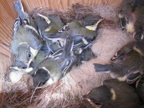 シジュウカラの巣箱 雛の様子