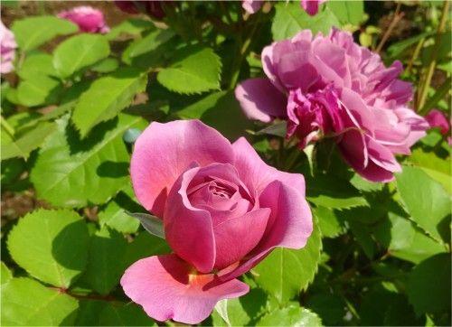 近所のお宅のご自慢の薔薇